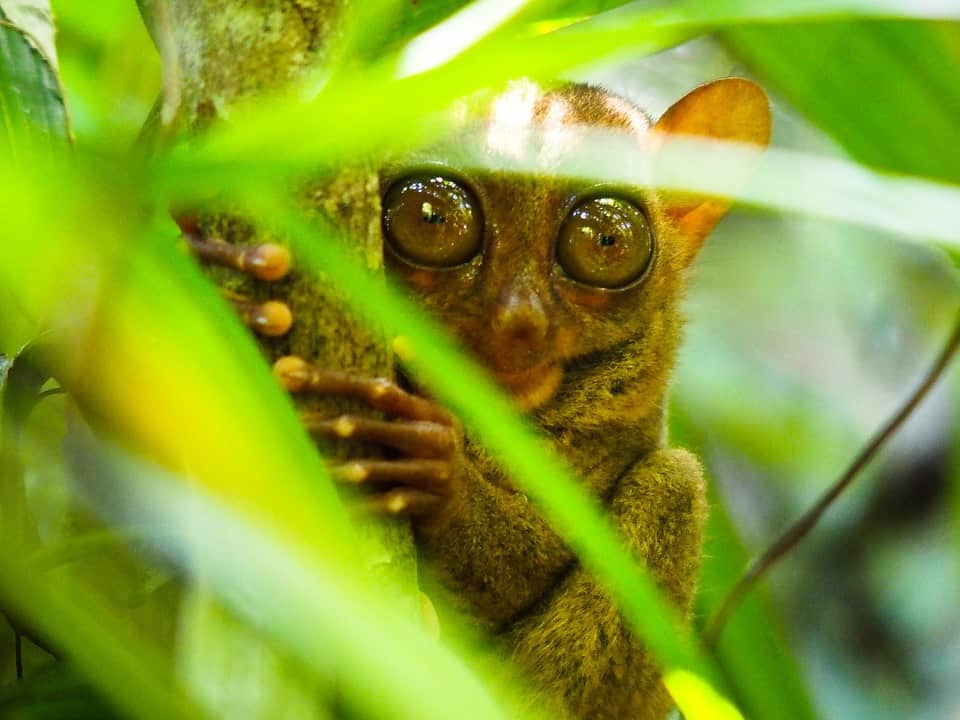 No monkeying around. This cutey is the Philippines' rarest animal, the tarsier.